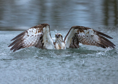 Osprey emerges from water2