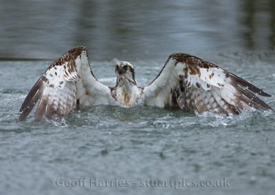 Osprey in water2