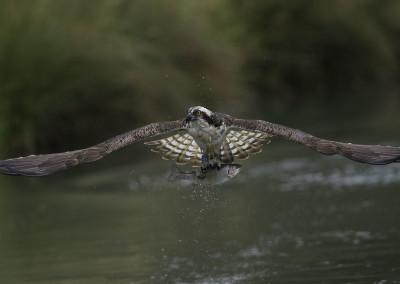 osprey-hide-background-osprey