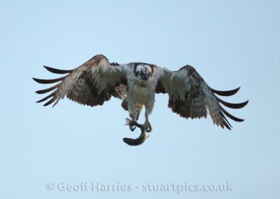 Angry Osprey O3