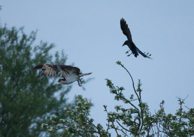 Crow attacking osprey28(10)