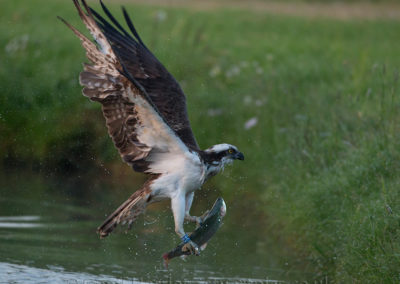 Osprey 28 with fish 24.05.15