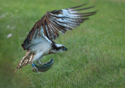 Osprey 28(10) carrying fish off 24.05.15