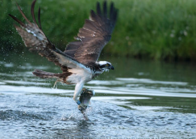 Osprey 28(10) catching fish 24.05.15