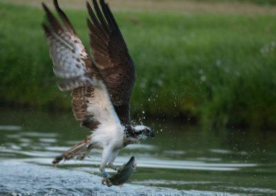 Osprey 28(10) got his hish 24.05.15