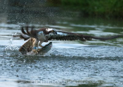 Osprey 28(10) leaves water with fish 24.05.15