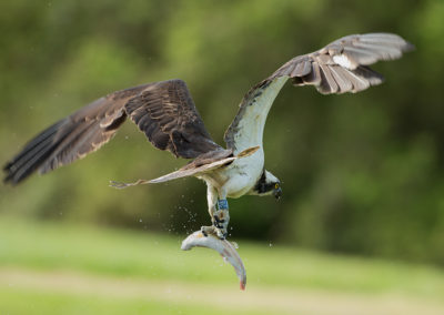 Osprey 28(10) takes away trout