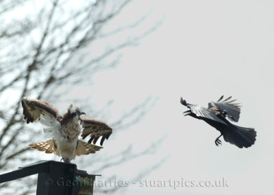 Osprey 30 attacked by crow