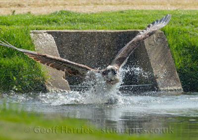 Osprey 30 emerges from water with fish