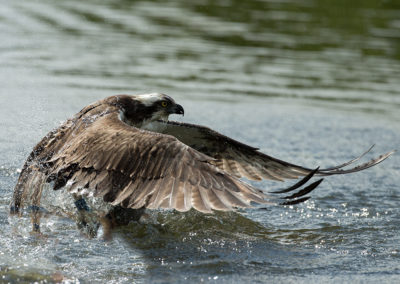 Osprey 33 coming out of water with fish