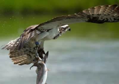 Osprey 33 flys off with trout