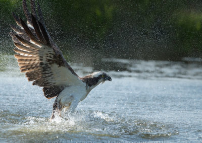 Osprey 33 struggles out of water