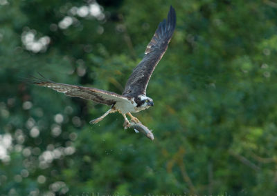 Osprey O3 flying off with fish