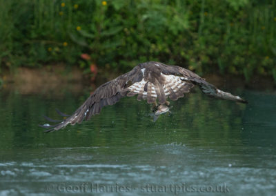 Osprey O3 flys off with fish