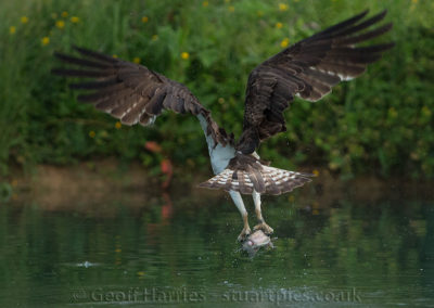Osprey O3 leaves with fish