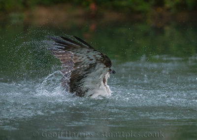 Osprey coming out of water