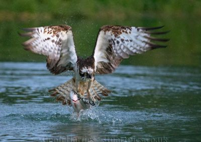 Osprey with fish3_4