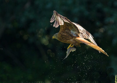Red kite flys away with trout