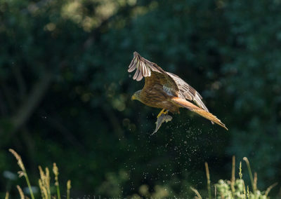 Red kite flys off with trout 3