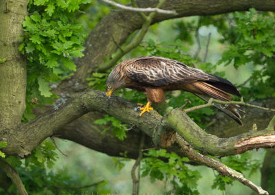 Red kite looking at fish in water