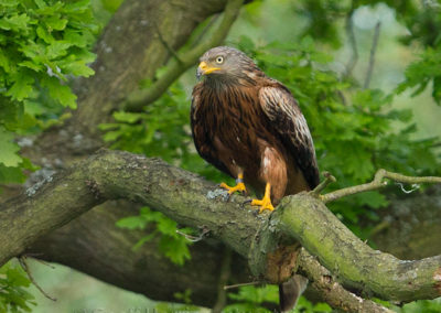 Red kite perched in tree 2