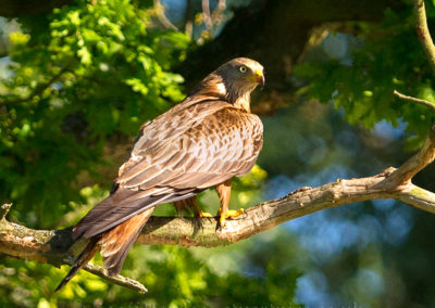 Red kite perched in tree
