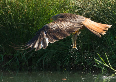 Red kite takes fish from pond