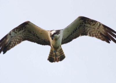 john-wright-osprey