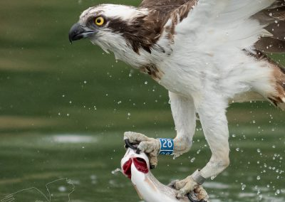 river-gwash-ospreys-2019-4