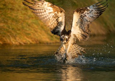 river-gwash-trout-farm-ospreys